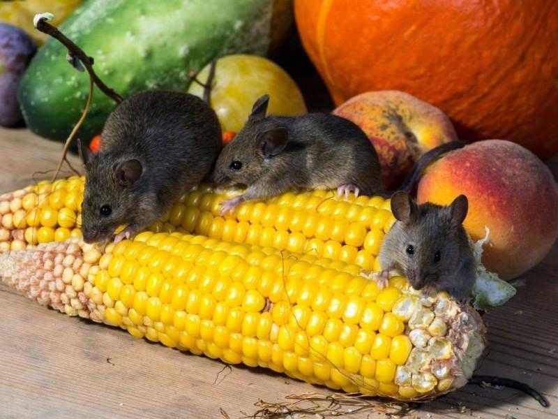 Мышки портят урожай